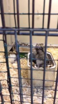 03 - Hamsters nains