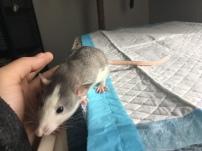 Ratdoption Husky Dumbo