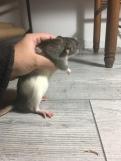 Ratdoption Hooded D M