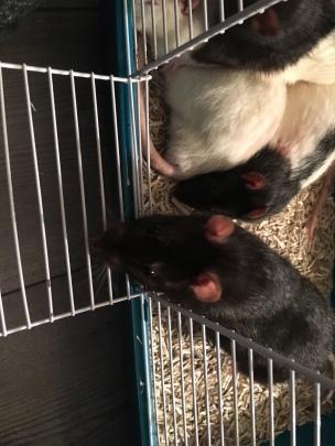 Rats Mâles