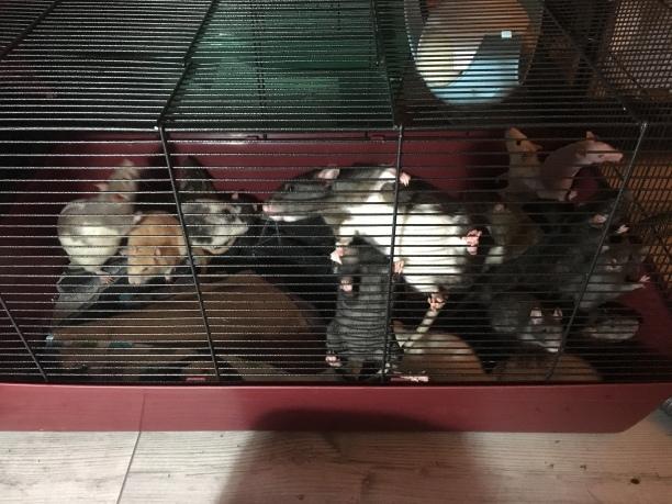 Jeu - Combien de rates ?